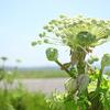 海岸に自生する植物たち。ハマヒルガオの咲く頃。