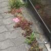 大阪で見られる雑草の花を探そう~5月の道ばたの花