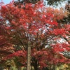 継鹿尾山(つがおさん)寂光院🍁🍁「尾張のもみじでら」の別名をもつ古刹。イロハモミジやカエデなどが約 1,000 本! 細かな葉をもつ巨木が多く、紅葉のあざやかさが見事です。🍁🍁もみじまつりは11月11日~12月10日まで。🍁🍁