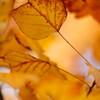 ユリノキ:小鳥の森