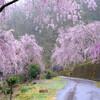十津川村まで桜を見に行く