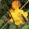 【散歩】キバナコスモスは一年中咲いているのか?