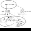植物細胞の構造と機能: 色素体 (2)