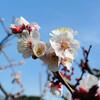 梅咲く三渓園