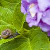 紫陽花・入梅・蝸牛