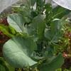 狭い庭のコンパニオンプランツ ③アブラナ科とキク科、セリ科
