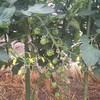 6月2日家の家庭菜園 これ何に見えます? 美味しそうなフルーツ? 「答えはプチトマトです」