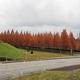 メタセコイア並木の紅葉(前編)
