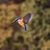 カンムリカイツブリ2羽・アカハラ・イカル・カワセミのホバリング(大阪城野鳥探鳥20210117 6:45-12:40)