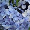 雨の日と紫陽花、再び。