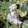 ハーブの花4
