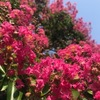 日本の夏は本当に厳しく,これといった日本原産の花が見当たらないように思います.日本になじんでいるサルスベリ,ムクゲ,フヨウも外来種.我が家の玄関先を飾るのは,近年日本に移入された現代園芸種たち:トレニアとインパチェンス・カリブラコア.葉を楽しむコリウス.そして,ペチュニア.原産地を整理してまとめておきました.