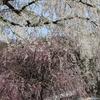 【秋田の桜の名所を巡る旅】角館・桧内川~田沢湖~協和