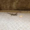 カナちゃんという可愛い名前の爬虫類はお好き?