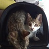 【ブロードライン】仔猫を動物病院に連れて行った費用はいくら? 猫専用フィラリア症予防・ノミ・マダニの駆除薬ブロードライン使用体験