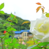 秋薔薇(鎌倉文学館・薔薇庭園にて)