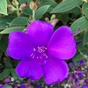 「濃き紫」は昔も今も高貴な匂い♪