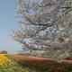 馬見丘陵公園のチューリップと桜 その1