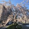 【朝ラン】ようやく桜が見ごろになってきた