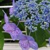 青紫色の紫陽花「お見舞い」花束  青山町~月が丘  in  盛岡