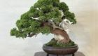 好きが高じて「盆栽」修行の道へ 手間こそ楽しむ、贅沢な趣味の世界