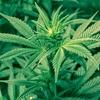 カリフォルニア州の大麻合法化まとめ〜誰がどこで何を使えるようになるのか〜