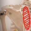 筋肉の疲労と骨の歪みの関係。