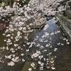 行ってきました! 10(京都でお花見〜高瀬川、祇園白川、はふう、栖園)