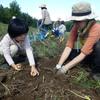 ジャガイモ堀りと収穫祭