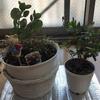 【夏バテ?!】植物が枯れたり葉が黄色くなったり…治療法模索中。