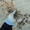 ニンニクを収穫しました