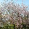 鎌倉散歩4月〜桜吹雪の天園ハイキングコース