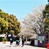 横浜みなとみらい汽車道の桜2019