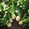 紅芯大根収穫!!&スナックエンドウ種蒔き!
