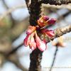 寒桜(カンザクラ)咲いています Prunus × kanzakura