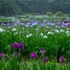 東京・青梅 - 吹上しょうぶ公園の花菖蒲