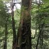 【屋久島登山+α】地元民おすすめのヤクスギランドを最高に楽しむ方法