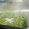 大山豆腐より大山菜が美味しかった仙人鍋 大山とうふまつり
