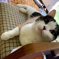 【6月の没っちゃんまとめ】猫の花嫁ジューンブライド❓️満1才=人間年齢17才を迎えて花嫁道具のスツールに落ち着く。
