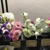 トルコギキョウは私が最も好きな切り花の一つ.キキョウ科ではなく,リンドウ科の植物;アメリカの原種はリンドウにかなりよく似た花をつけます.アメリカリンドウではなくてトルコギキョウとなぜ名付けられたのかは不明ですが,今となってはこれ以外の名前は考えられなくなってしまいましたね.