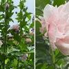 雨の中,八重のムクゲが一斉に花を開き始めました.一重の方も,更に沢山の花をつけています.一つの花はただ一日の命ながら,その命を立派に花咲かせて全うし,次から次へと花を咲かせる無窮花(ムグンファ).  これがムクゲですね. 雨はれて 心すがしく なりにけり 窓より見ゆる 白木槿(しろむくげ)のはな 斎藤茂吉  ムクゲはフヨウ属(ハイビスカス属).我が家のハイビスカスも華やかな花を咲かせ始めています.