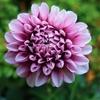 ダリアの花(小さな甲虫が紛れ込んでます)