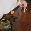 久しぶりの2ニャン登場♪野生の猫じゃらし(エコログサ)で遊んでもらうココちゃん&たまちゃん♪