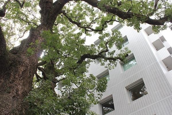 都心にたたずむ御神木×マンション 樹齢600年超の大クスノキと暮す