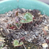 ガーデンシクラメンの新芽