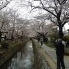 桜はほぼ満開 (6th Apr 2017)
