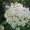 梅雨はとっても苦手だけど紫陽花がきれいなことだけは好き。  先日の北山緑化植物園の続きです。