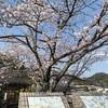 桜を見に行き気がついたこと