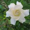 今季二度目咲きの「くちなし(gardenia)の花」の枝に、大きな害虫が!