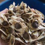 モリンガの種を2ヶ月間食べてみた結果・・・